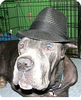 Cane Corso Dog for adoption in Missouri City, Texas - Rocky
