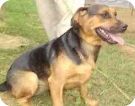 German Shepherd Dog/Beagle Mix Dog for adoption in latrobe, Pennsylvania - 3 Stooges