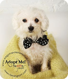 Bichon Frise/Dachshund Mix Dog for adoption in Omaha, Nebraska - Jasper-adoption pending