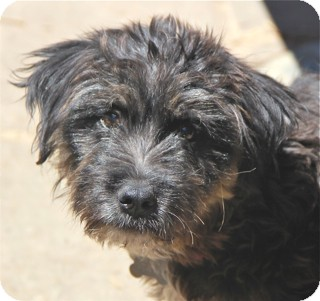 Tibetan Terrier/Bearded Collie Mix Puppy for adoption in Norwalk, Connecticut - Wharton - adoption pending