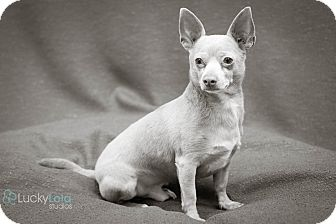 Chihuahua Mix Dog for adoption in Hilliard, Ohio - Reese