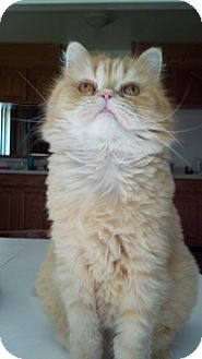 Persian Cat for adoption in Sterling Hgts, Michigan - Marco (4 paw declaw)