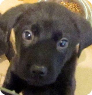 Labrador Retriever/Newfoundland Mix Puppy for adoption in Oswego, Illinois - I'M ADOPTED Nikko Lopes