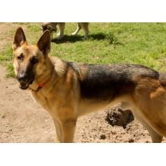 German Shepherd Dog Mix Dog for adoption in Houston, Texas - Titan