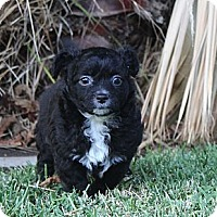 Adopt A Pet :: Anna - La Habra Heights, CA