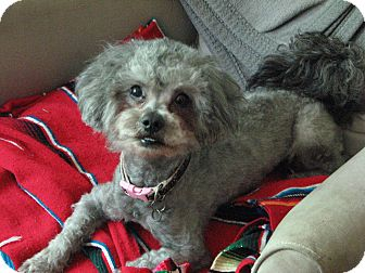 Poodle (Miniature) Mix Dog for adoption in Mt. Prospect, Illinois - Dusty