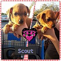 Adopt A Pet :: Scout - Fowler, CA
