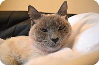 Siamese Cat for adoption in Homewood, Alabama - Dinah