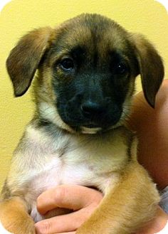 "German Shepherd Dog/Belgian Malinois Mix Puppy for adoption in Oswego, Illinois - Sheperd Babies ""Sage"""
