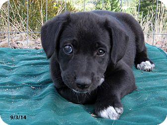 Shepherd (Unknown Type) Mix Puppy for adoption in Republic, Washington - Sleepy