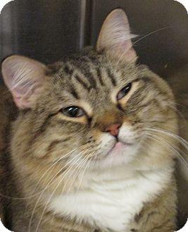 Domestic Shorthair Cat for adoption in Pueblo West, Colorado - Owlie