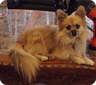 Pomeranian Dog for adoption in conroe, Texas - Valor