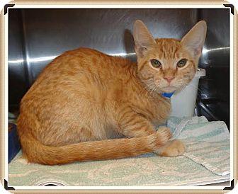 Domestic Shorthair Kitten for adoption in Marietta, Georgia - CREAM PUFF (R)