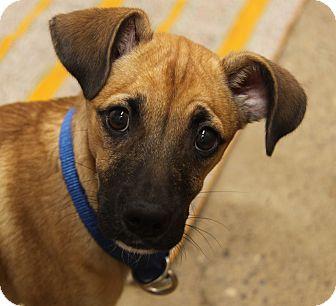 Shepherd (Unknown Type) Mix Puppy for adoption in Marietta, Ohio - Scooby
