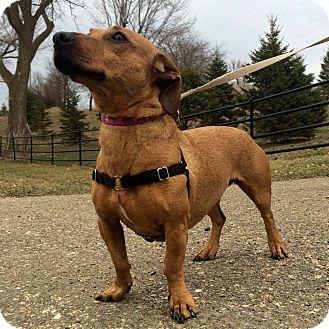 Dachshund Mix Dog for adoption in Minneapolis, Minnesota - Jodi