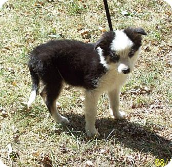 Border Collie Puppy for adoption in Sparta, Illinois - Raq