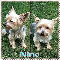 Adopt A Pet :: Nino - bridgeport, CT