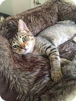 Domestic Shorthair Kitten for adoption in Burlington, North Carolina - DEAN
