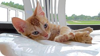 Domestic Shorthair Kitten for adoption in St. Francisville, Louisiana - Sammy