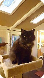 American Bobtail Cat for adoption in Simpsonville, South Carolina - Ari
