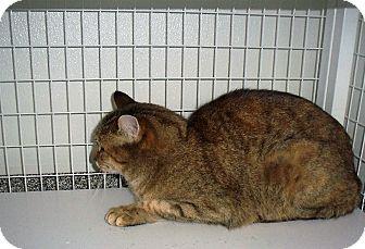 Domestic Shorthair Cat for adoption in Gunnison, Colorado - Sadie