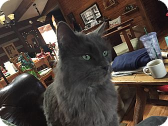 Domestic Longhair Cat for adoption in Waynesville, North Carolina - Wolfie