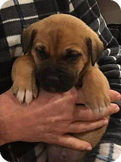 Shepherd (Unknown Type) Mix Puppy for adoption in Lima, Pennsylvania - Tiger and Pooh