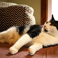 Domestic Shorthair Cat for adoption in Princeton, Minnesota - Emilia