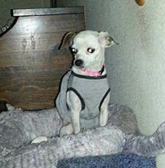 Chihuahua Dog for adoption in Surprise, Arizona - Cricket