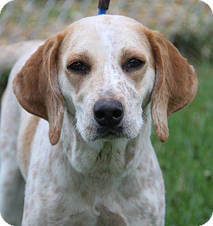 Redtick Coonhound/English (Redtick) Coonhound Mix Dog for adoption in Marietta, Ohio - Pix (Spayed)
