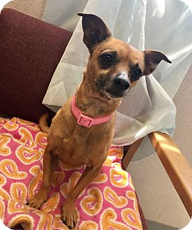 Dachshund/Chihuahua Mix Dog for adoption in Visalia, California - Alice