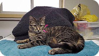 Domestic Shorthair Cat for adoption in Lexington, Missouri - Einstein