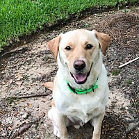 Adopt A Pet :: Clyde - Austin, TX