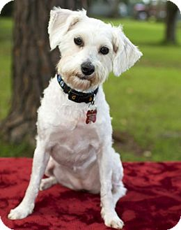 Poodle (Miniature)/Standard Schnauzer Mix Dog for adoption in Santa Fe, Texas - Willow-Beauty-N-Video