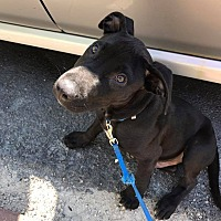 Adopt A Pet :: Licorice - Joliet, IL