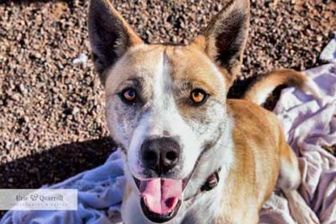 Husky Mix Dog for adoption in Rio Rancho, New Mexico - Zion
