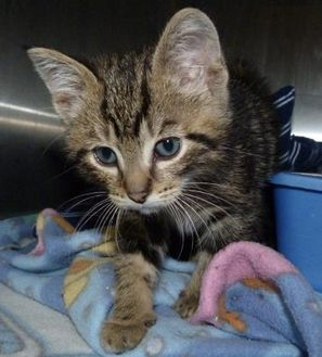 Domestic Shorthair/Domestic Shorthair Mix Kitten for adoption in Meadow Lake, Saskatchewan - Munchkin