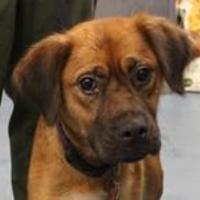 Adopt A Pet :: Cersei - Columbia, SC