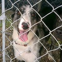 Husky Mix Dog for adoption in Opelousas, Louisiana - Layla