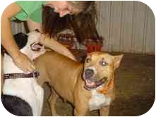 American Pit Bull Terrier Mix Dog for adoption in Minneapolis, Minnesota - Alice