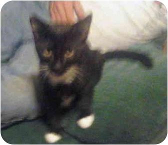 Domestic Shorthair Cat for adoption in Grove City, Ohio - socks
