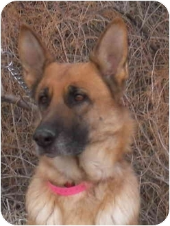 German Shepherd Dog Dog for adoption in Las Vegas, Nevada - Saturn