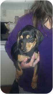 Black and Tan Coonhound/Labrador Retriever Mix Puppy for adoption in New Baltimore, Michigan - Riley