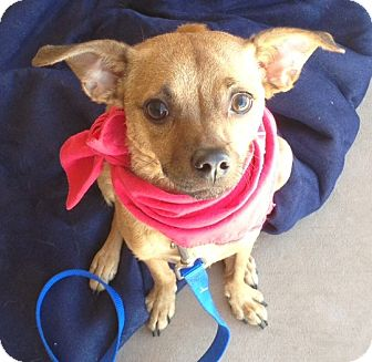 Chihuahua Mix Dog for adoption in Scottsdale, Arizona - Moose