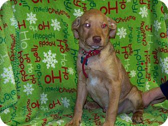 Vizsla Mix Puppy for adoption in Newtown, Connecticut - LITTLE JAKE