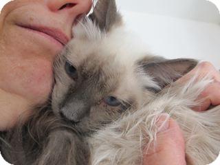 Ragdoll Kitten for adoption in Davis, California - Cody