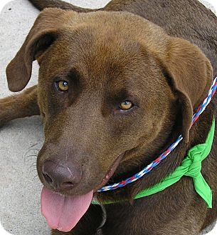 Chesapeake Bay Retriever/Labrador Retriever Mix Dog for adoption in Austin, Texas - Bear