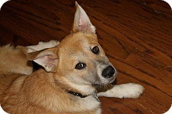 Collie/Retriever (Unknown Type) Mix Puppy for adoption in Marietta, Georgia - Scout