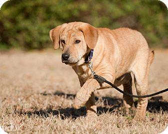 Shar Pei/Labrador Retriever Mix Puppy for adoption in Wilmington, Delaware - Simba