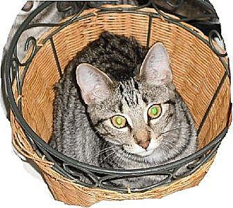 Domestic Shorthair Cat for adoption in Kohler, Wisconsin - Sunny
